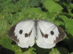 large white cabbage butterfly