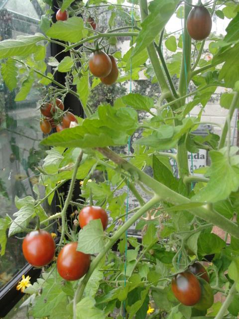 Hairloom black tomato black cream | Tomatoes and ...