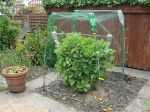 Perennial 'everlasting cabbage' protected from the cabbage white butterfly by garden netting over a frame of canes, bottles and pegs alongside a pot of mixed lettuce.