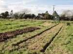 The border sods removed show the plot shape. The adjacent plot is a no-dig version, manure on to of cardboard on top of strimmed down pasture.