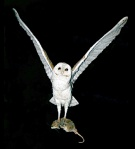 This Barn Owl helps control the rat population. Check www.thinkwildlife.org for ways to help owls.