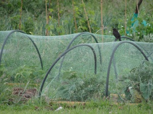 A frustrated blackbird perched on a net cloche which protects the strawberry crop from bird predation.