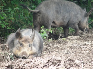Normally brown, these Tamworth pigs are covered in mud during their summer moult at the Irish National Heritage Park, Ferrycarrig, Wexford.