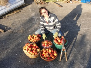 Some fruits of Áine's labours. Buckets of windfall apples gathered with the help of a garden shears to cut back long grass under apple trees.