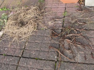 Scutch and dock roots which will NOT go into the composter.