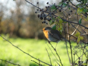 'Robby the Robin' keeping an eye on my manure shovelling before feasting on the tiger worms uncovered.