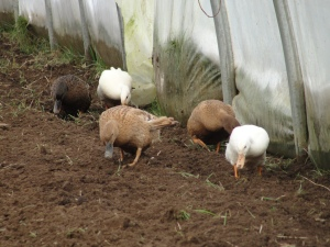 Domestic ducks on slug  and slug egg patrol in the polytunnel on vacant veg beds.