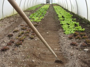 Hoeing paths and raised beds keeps both weed free, but also shifts fertile loose soil to when veg are growing.